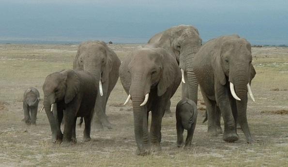 african-elephant-herd